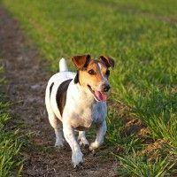 #dogalize Alimentazione del cane Jack Russel: dieta adeguata #dogs #cats #pets
