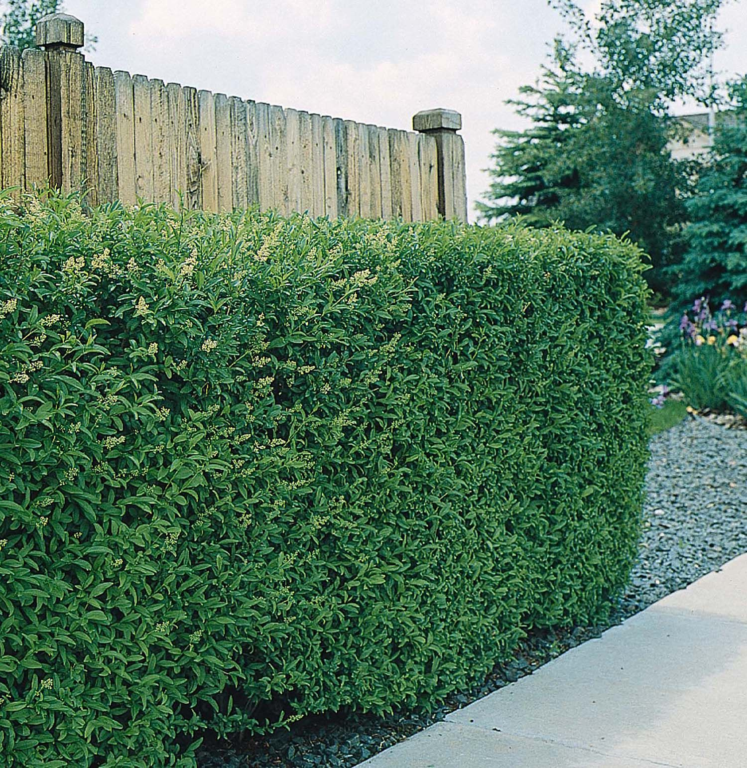 Best shrubs for full sun and privacy - Monrovia S Lodense Privet Details And Information Learn More About Monrovia Plants And Best Practices For Best Possible Plant Performance