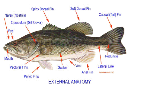 fish dissection name science pinterest fish rh pinterest com Perch Dissection Worksheet Perch Fish Dissection