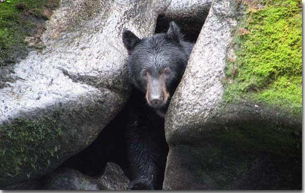 hibernating bear coming out of a cave nature. Black Bedroom Furniture Sets. Home Design Ideas