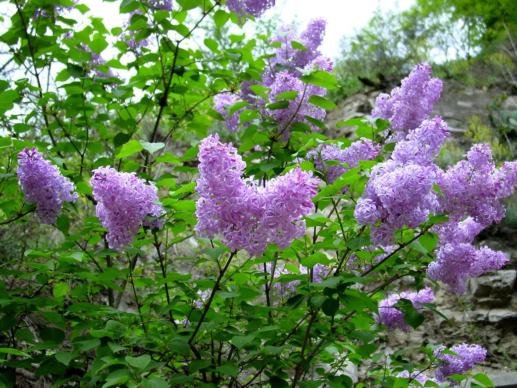 Reasons Why A Lilac Bush Is Not Blooming And How To Fix Them Lilac Plant Lilac Tree Prune Lilac Bush
