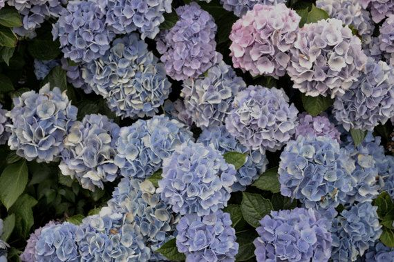 French Hydrangeas  Signed Archival Botanical by BluebellandtheFox, $14.00