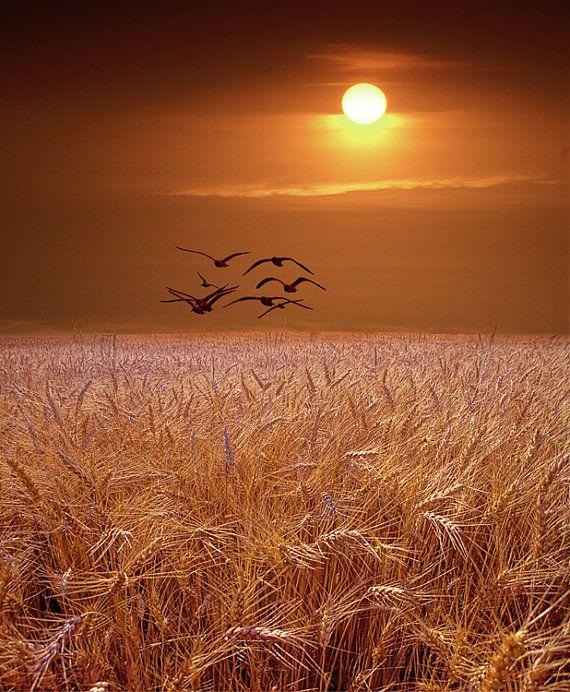 Möwen fliegen über eine goldene Weizenfeld bei von RandyNyhofPhotos