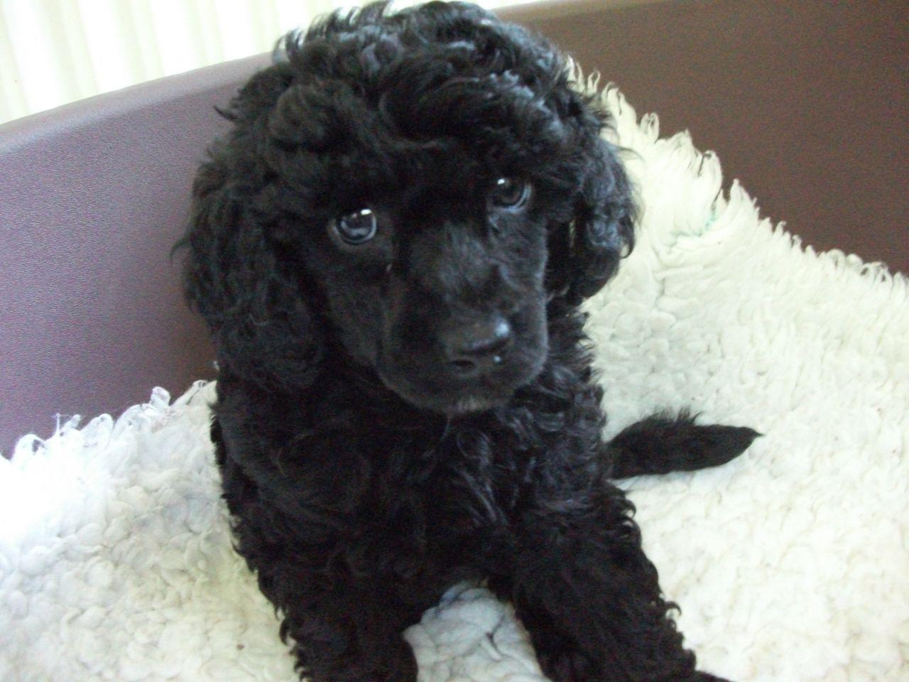Miniature Poodle Puppies Black standard poodle, Poodle