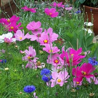 Cosmos Seeds Dwarf Mix Late Blooming Wildflower Seeds Flower Seeds Amazing Flowers