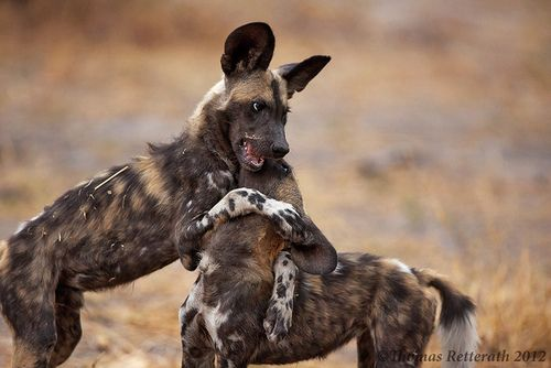 wild hug zoo of the wild pinterest wild dogs africans and dog. Black Bedroom Furniture Sets. Home Design Ideas