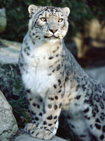 Snow Leopard Uncia Uncia Woodland Park Zoo Seattle Washington