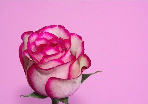 Galeri Foto Bunga Mawar Yang Cantik Pesona Dunia