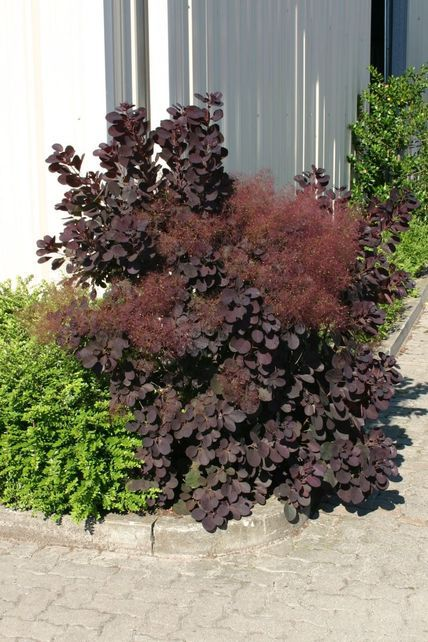 roter per ckenstrauch 39 royal purple 39 cotinus coggygria 39 royal purple 39 plants for european. Black Bedroom Furniture Sets. Home Design Ideas