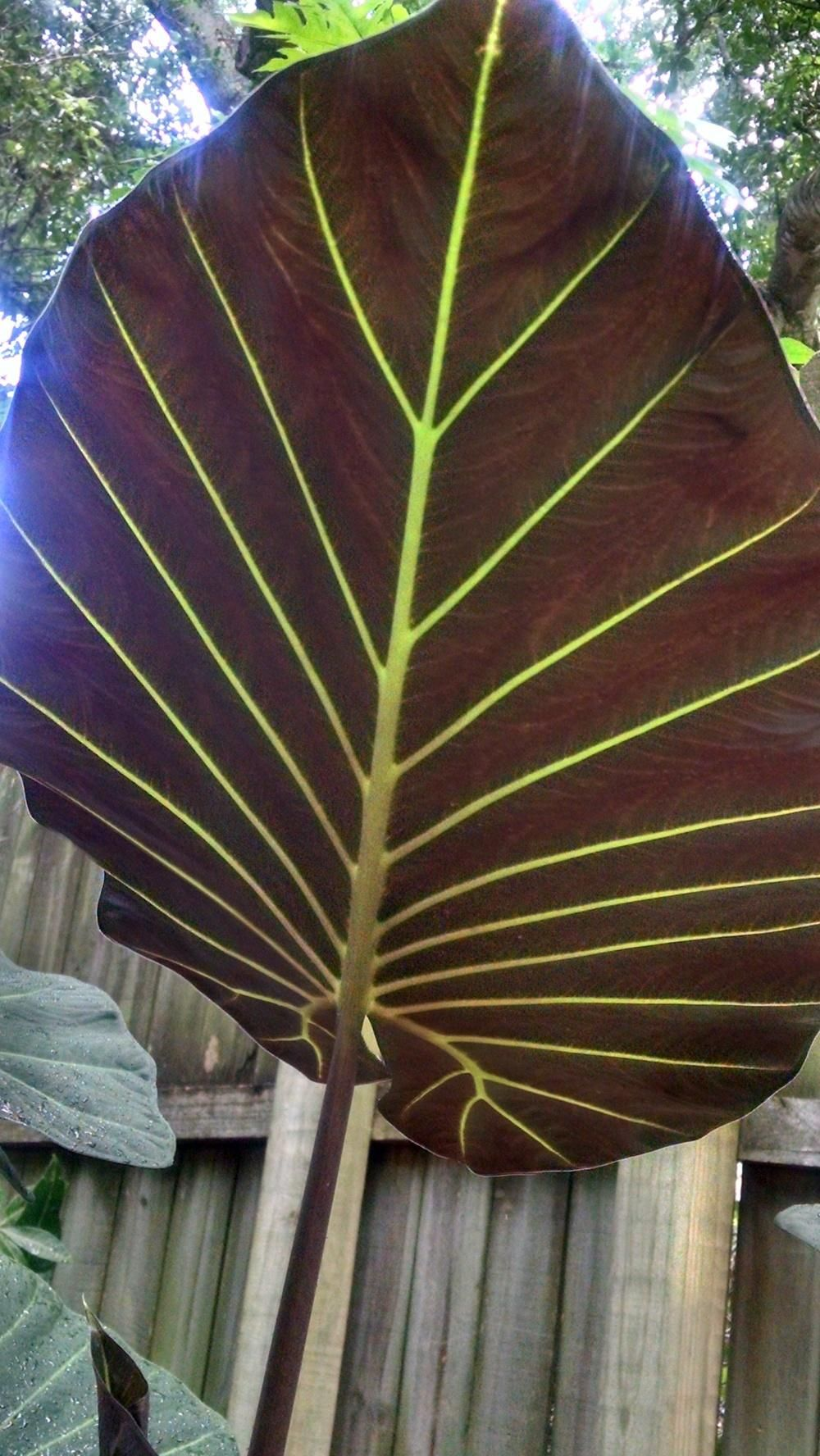 Elephant Ears Alocasia Plant Care And Collection Of Varieties