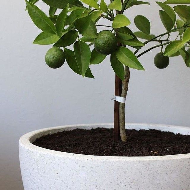 say hello to wally our dwarf trovita orange tree on sweet dreams for your home plants decoration precautions and options id=78075