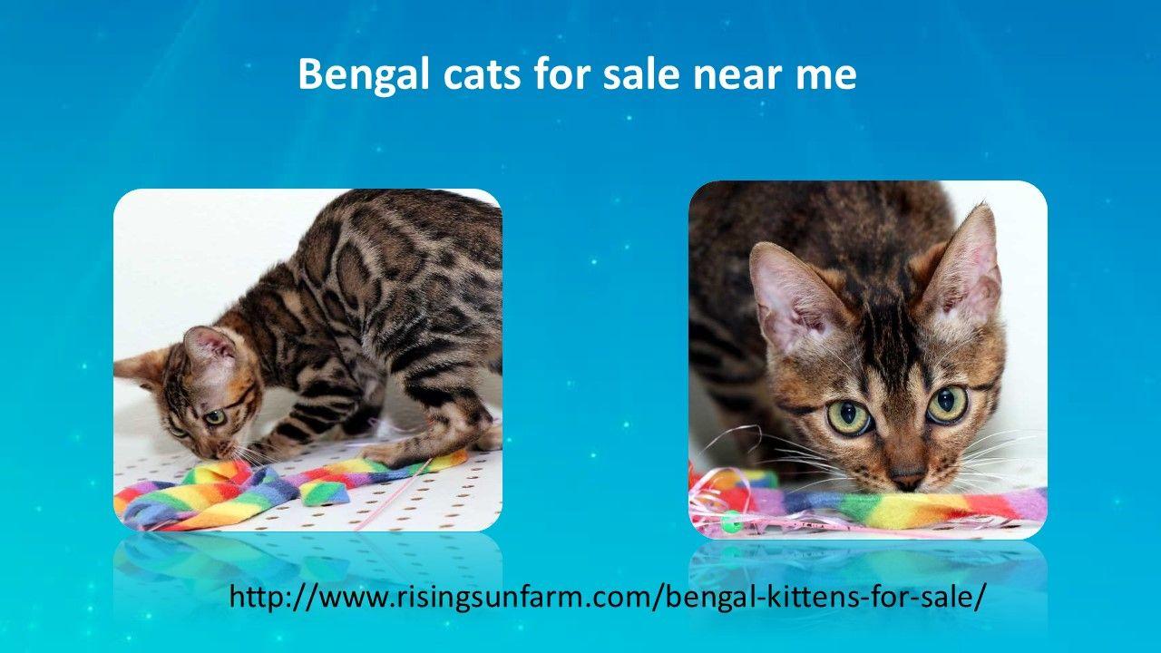 Bengal cats for sale near merisingsunfarm in 2020
