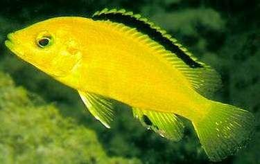 Labidochromis Caeruleus Electric Yellow Cichlid Electric Yellow Lab Labidochromis Caeruleus Not As Aggressive As Other African Cichlids Cichlid Fish Cichlids
