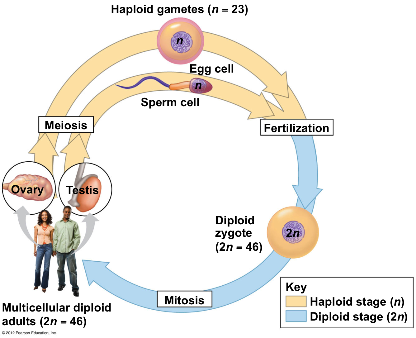 Meiosis Amp Mitosis Cells