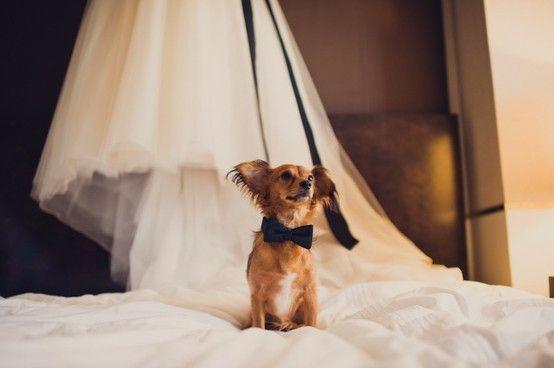bow tie dog wedding by sweet_deeee