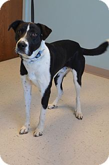 Manhattan Ks Great Dane Border Collie Mix Meet Cooper A Dog