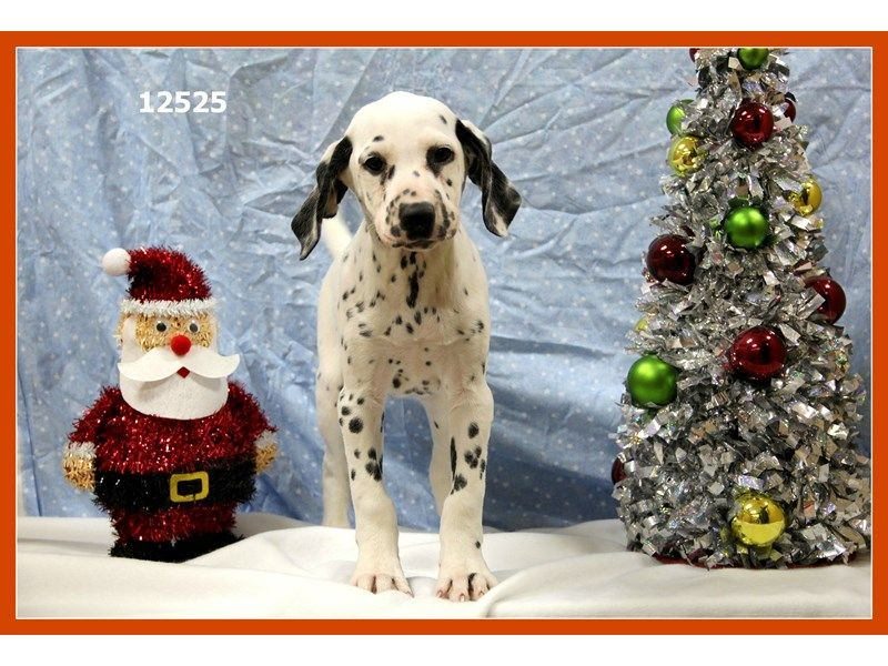 Dalmatian Pets for sale, Pets, Puppies for sale