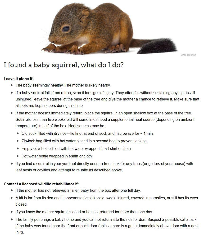 I Found A Baby Squirrel What Do I Do Babysquirrel Wildsquirrel Born Wild Stay Wild I Am Not A Pet Orpha Wildlife Rehabilitation Injured Wildlife Wildlife