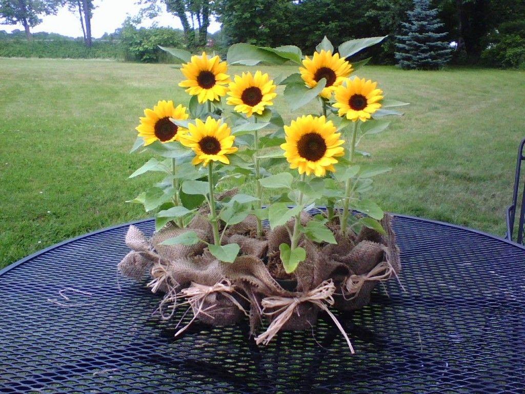 sunflowers in container Irish Eyes Sunflower Flower