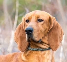 NO LONGER LISTED - #VIRGINIA ~ Candice is an 18mos  Redbone Coonhound in #Gloucester.  A wonderful spirited gal full of life. She's very confident  loves attn. She's basically just a 51lbs happy ball of energy. She wants to please  is intelligent so training should go easily. She is a beauty on the leash and hopes to find a person with auburn hair to complement her coat! Gloucester-Mathews Humane Society Outreach Program ph  804 693-5520