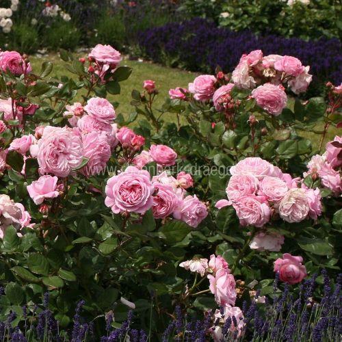 Rosengrafin marie henriette роза