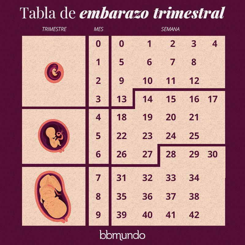 Galeria Cambios Semanales En El Utero Durante El Embarazo Con