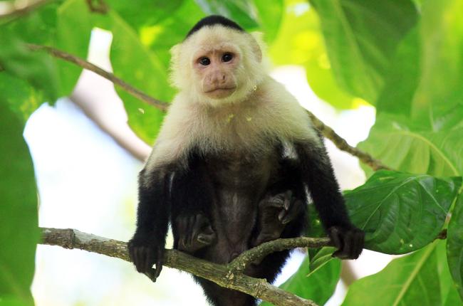 cahuita national park snorkeling hiking tour capuchin   - Costa Rica
