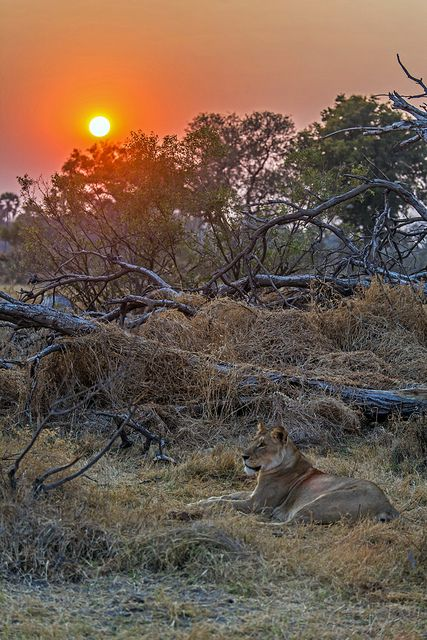 Lioness at Sunrise, Chitabe Camp, Okavango Delta, Botswana