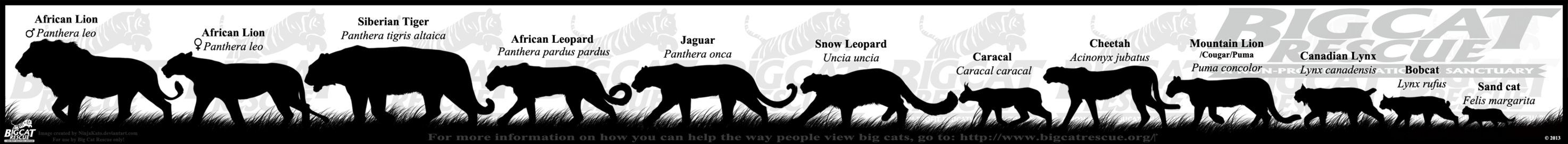 _big_cat_rescue___bcr__banner_by_ninjakatod6a09si.png