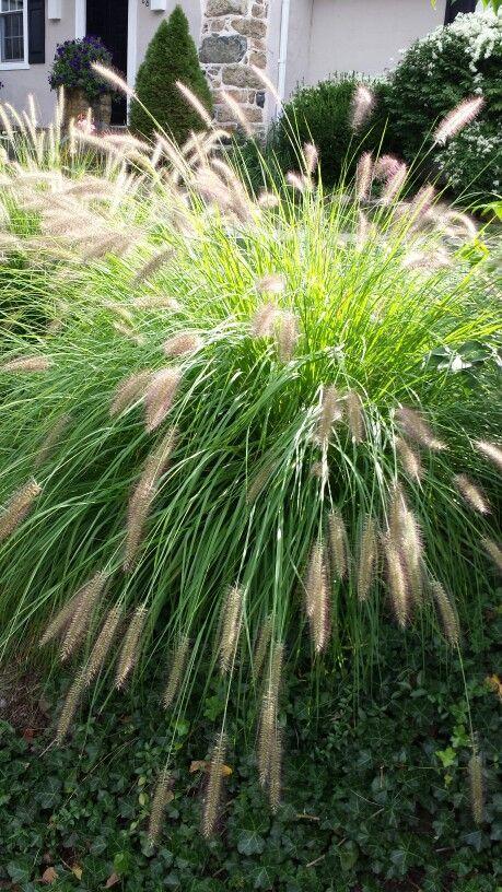 Discover Great Ornamental Grasses Ornamental Grasses 400 x 300