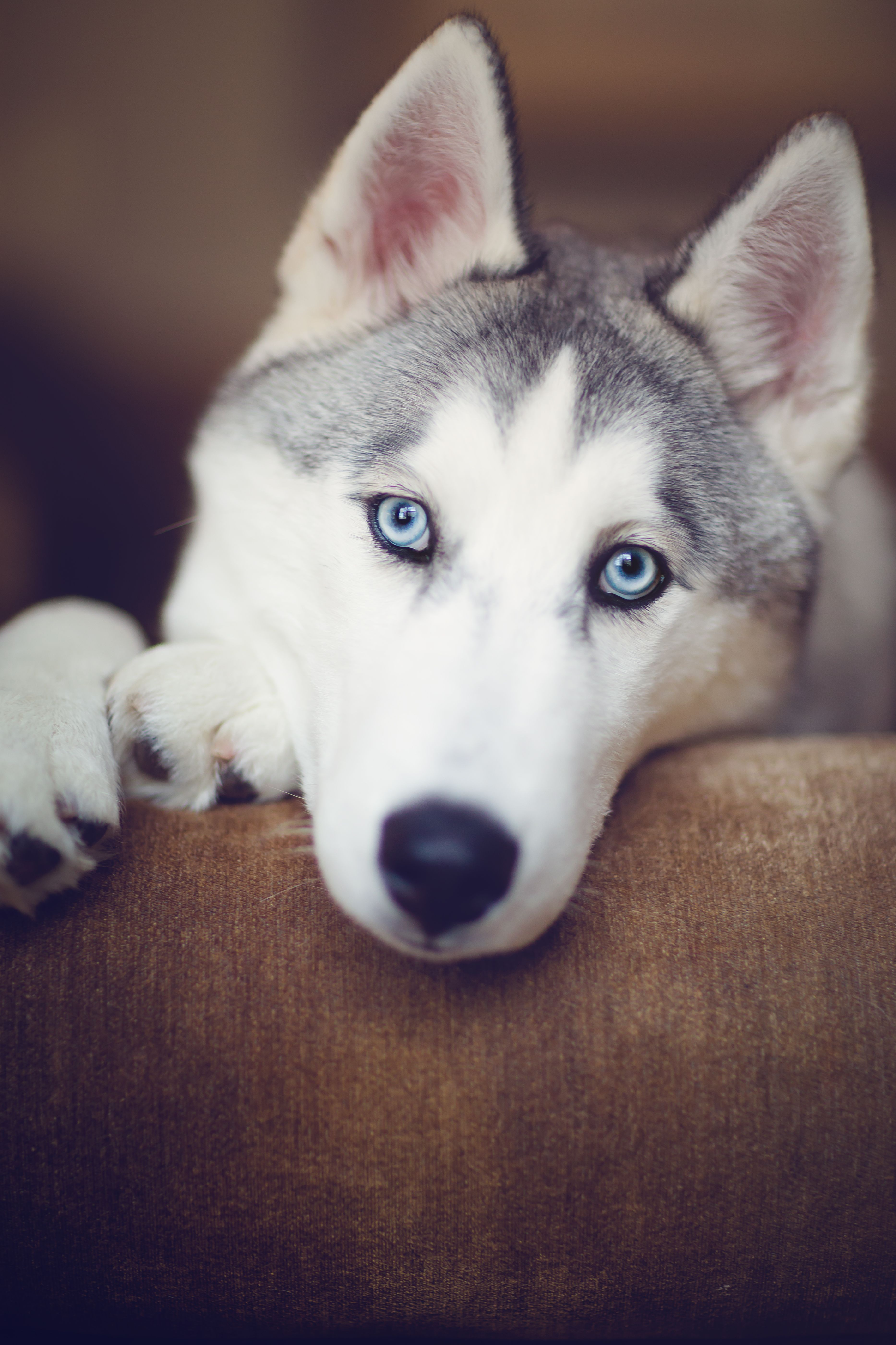 Max The Siberian Husky Husky Puppy Siberian Husky Dog Husky