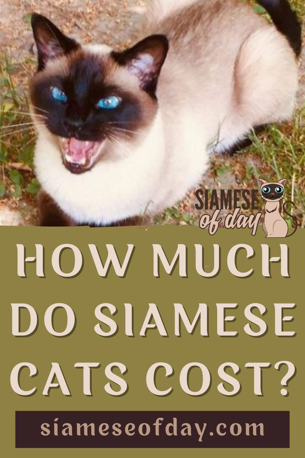 How Much Do Siamese Cats Cost Siamese Of Day In 2020 Purebred Cats Siamese Cats Buy A Cat