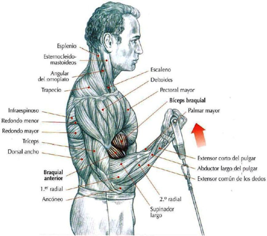 Biceps Workout... | Back and Bicep | Pinterest | Bizeps training ...