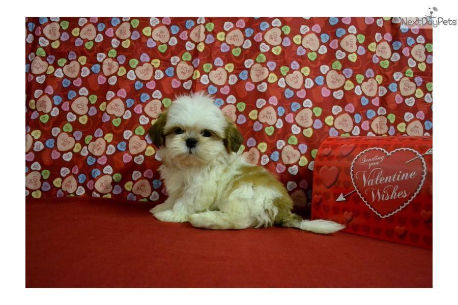 Meet Owen A Cute Shih Tzu Puppy For Sale For 500 Very Unique