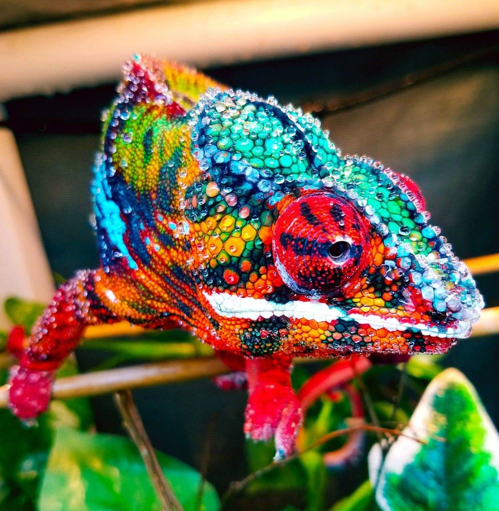 Ambilobe panther chameleon | herpetology | Colorful ...