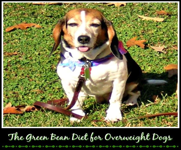 The Green Bean Diet For Overweight Dogs Overweight Dog Bean