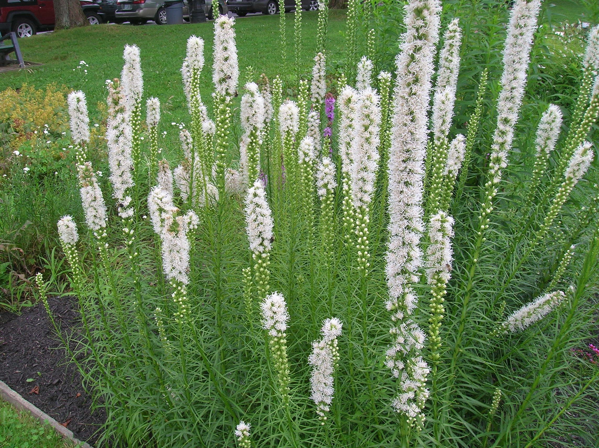 learn how to grow blazing star in the garden in this article includes information on planting growing and varieties of blazing star in new england