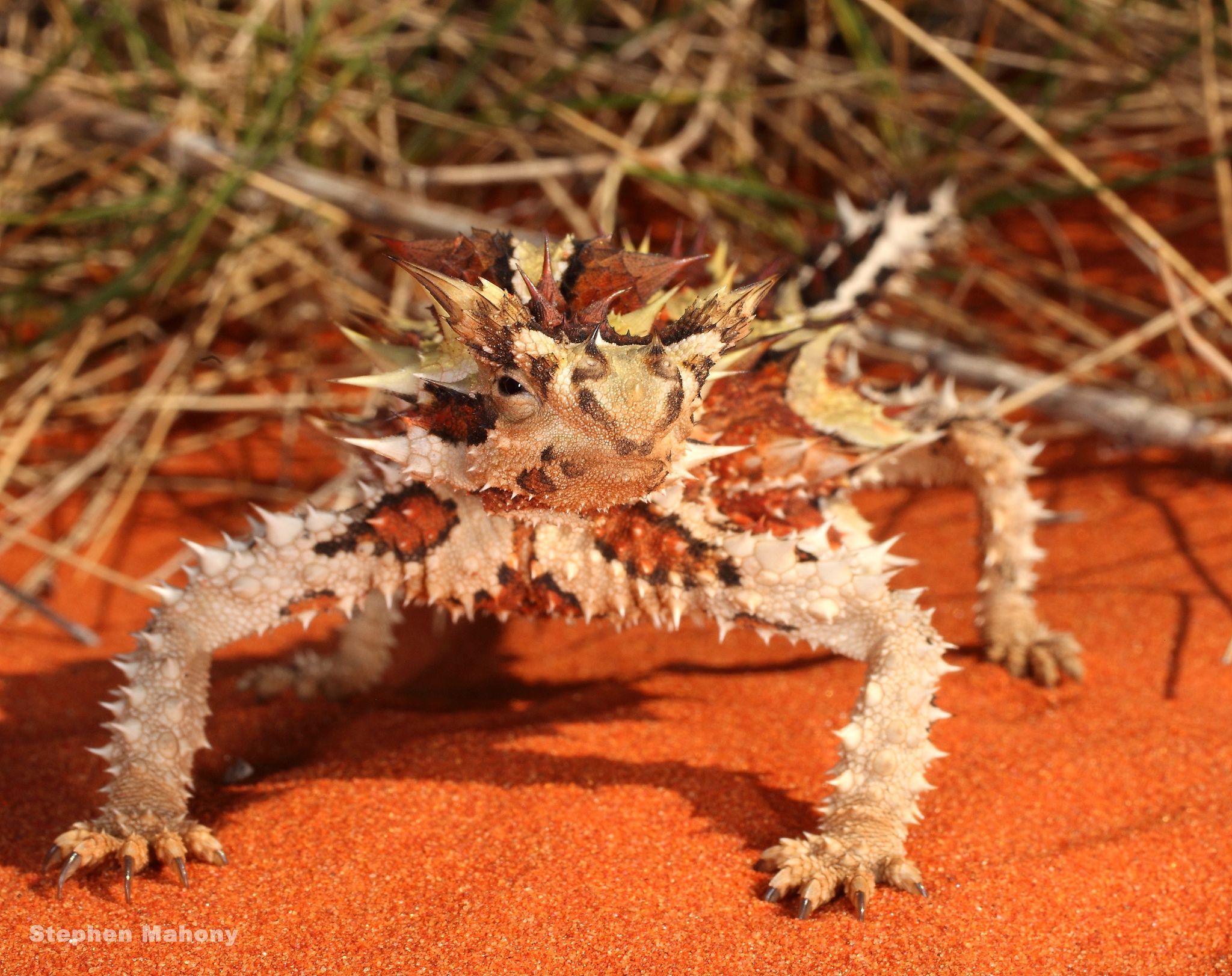 26 best thorny devils images on pinterest devil lizards and