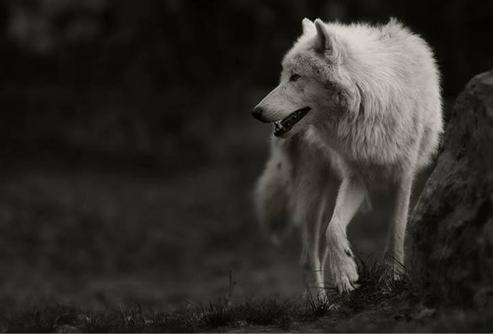 White wolf, lobo blanco