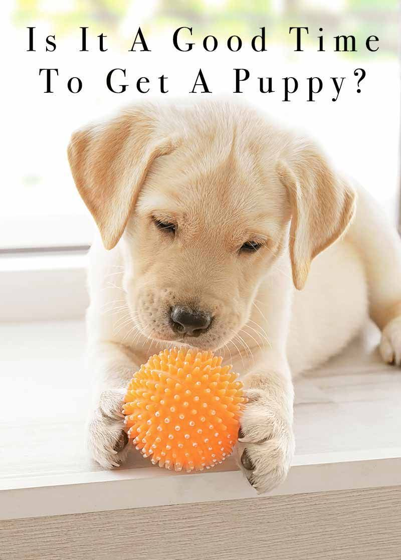 Is it a good time to get a puppy life on lockdown in
