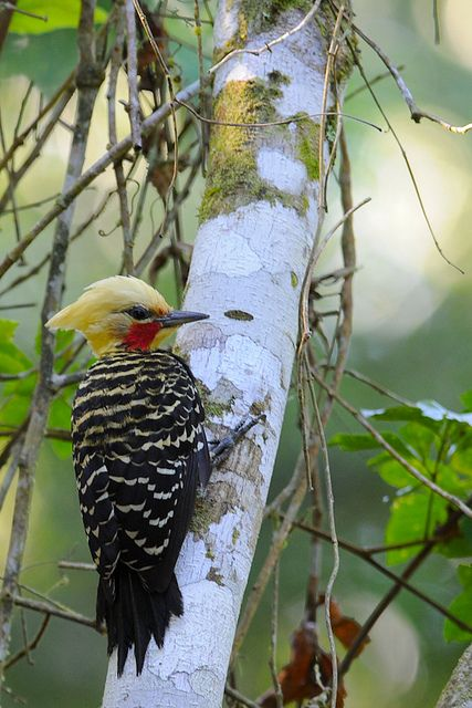 blond-crested woodpecker  photo by jquental