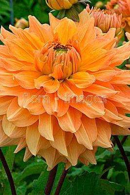 Flora Images Image Dahlia Philip Campos M Dahlia Dahlias Garden Dahlia Flower