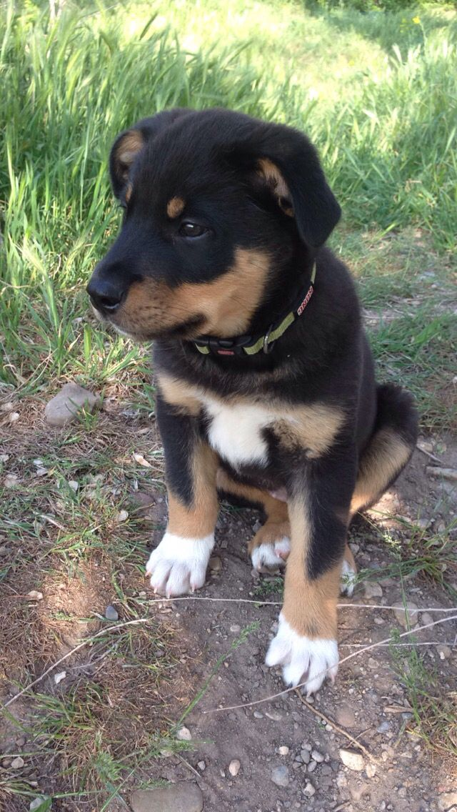 Meet Beck He Is A Rottweiler Collie Mix I Named Him After Real