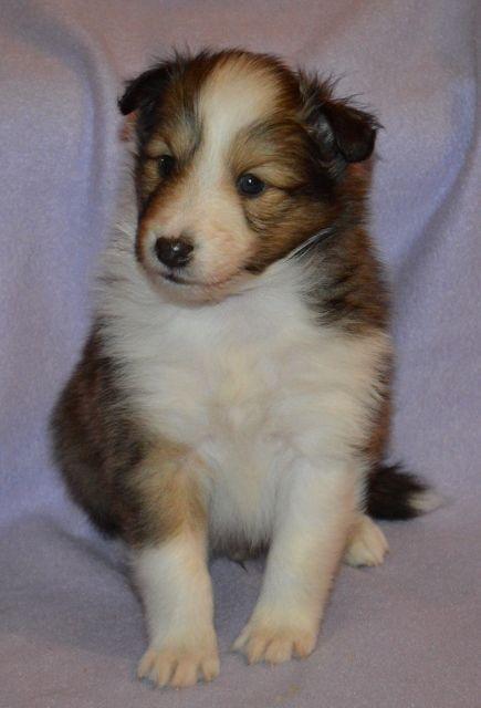 Shetland Sheepdog Puppies Ny Sheltie Puppies For Sale Ny Sheep Dog Puppy Sheltie Puppy Puppies For Sale