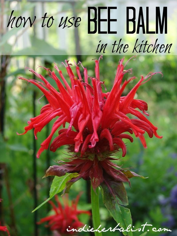 How to Use Bee Balm in the Kitchen // Indie Herbalist