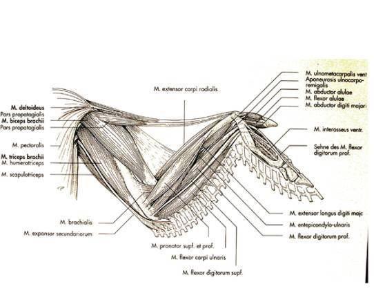 Pin by Tina Clarkson on anatomy avian   Pinterest   Backyard poultry