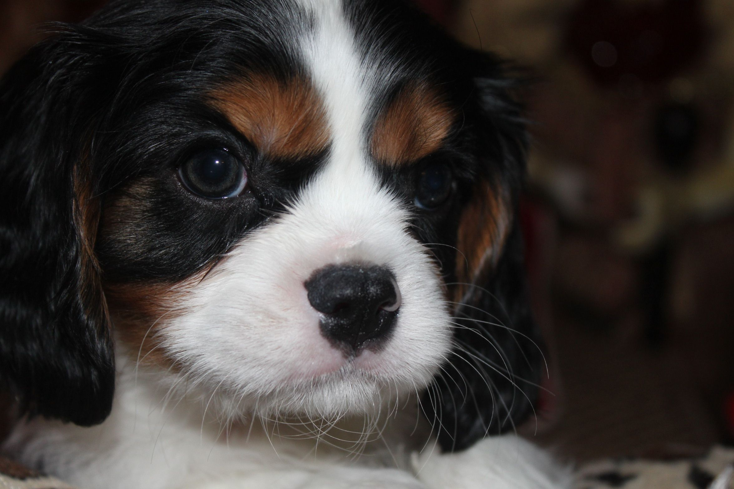 All Romeo S Babies Have Great Eyes Perfect Eyebrow Placement And Full Head Cavalier Puppy Cavalier King Charles Spaniel King Charles Cavalier Spaniel Puppy