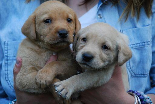 Litter of 7 Labrador Retriever puppies for sale in ALLEGAN