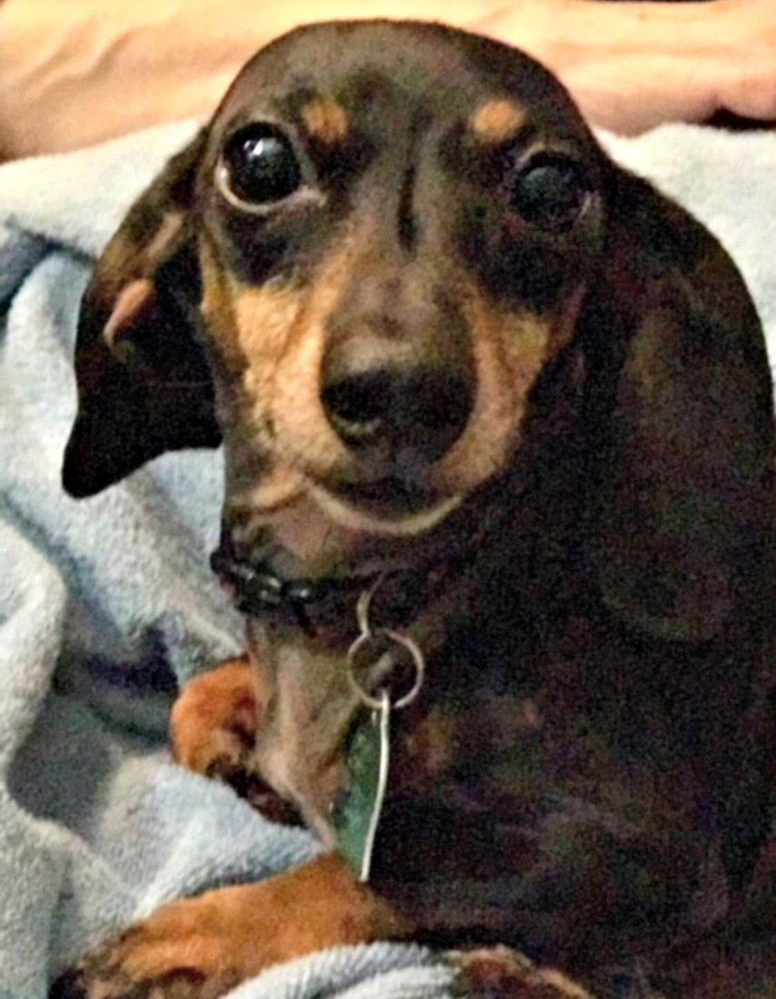Dachshund Dog For Adoption In Friendswood Tx Adn 745755 On