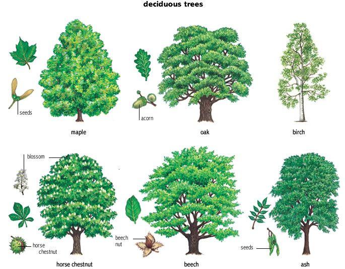 deciduous_trees.jpg (685×533) | TREES LIST NAMES | Pinterest